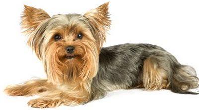 Миниатюрная собачка очень красивая и