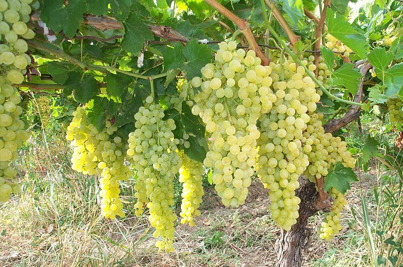 vinograd[1]