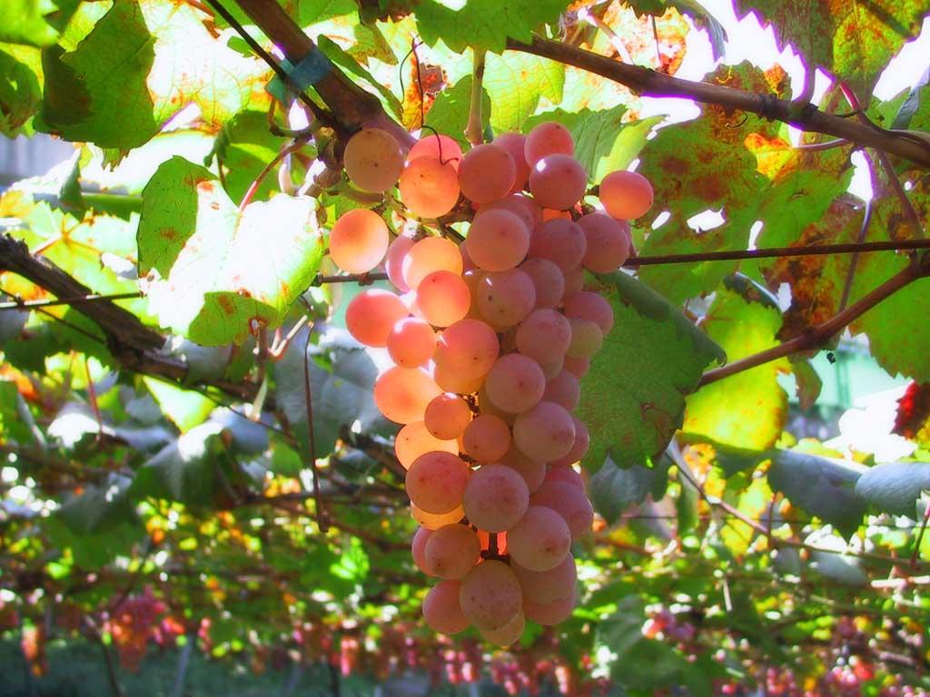 grapes_01[1]