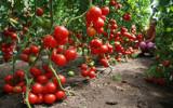 Польза от закаливания помидоров