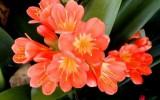 Комнатные цветы кливия
