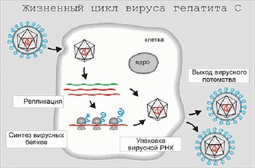 zhiznennyy-tsikl-virusa-gepatita-s