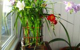 Цветок аристократов на вашей клумбе: выращиваем фрезию